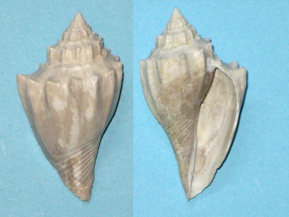 Volutidae - † Athleta (Volutospina) spinosa (Harzhauser, 2009) - (Bassin parisien / Fleury la Rivière 51) Fossil12