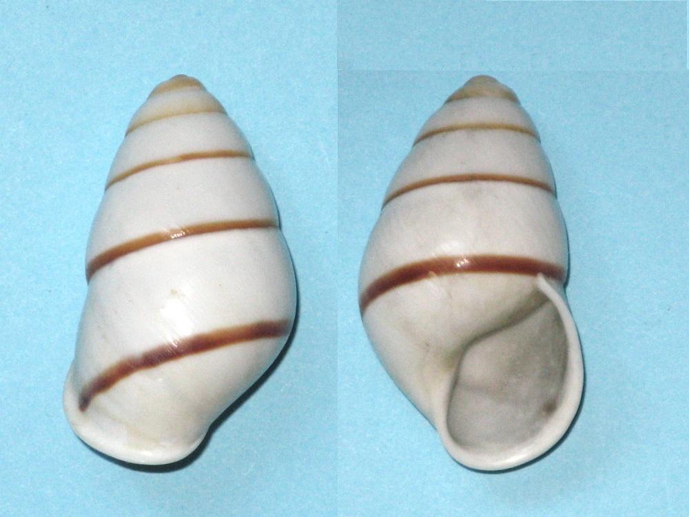 Helicostyla cincinniformis Helico10