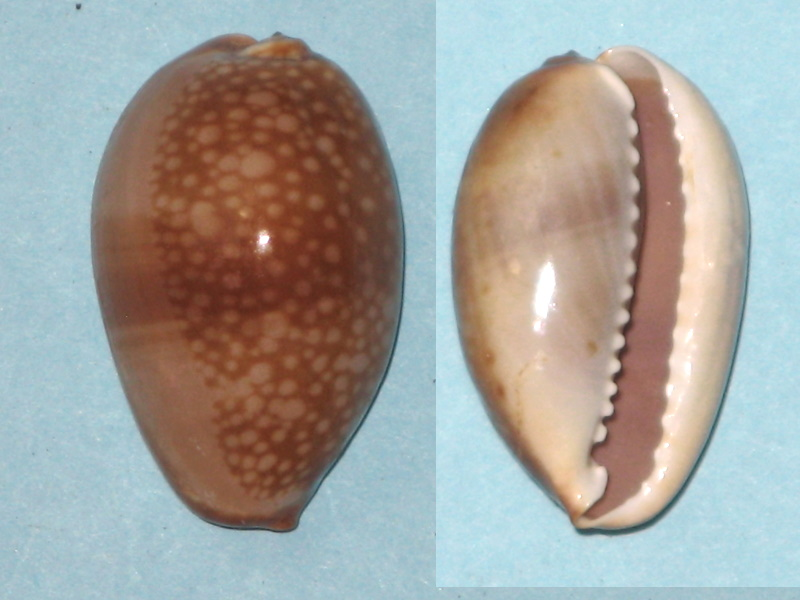 Monetaria caputserpentis (Linnaeus, 1758) juvénile Img_0239