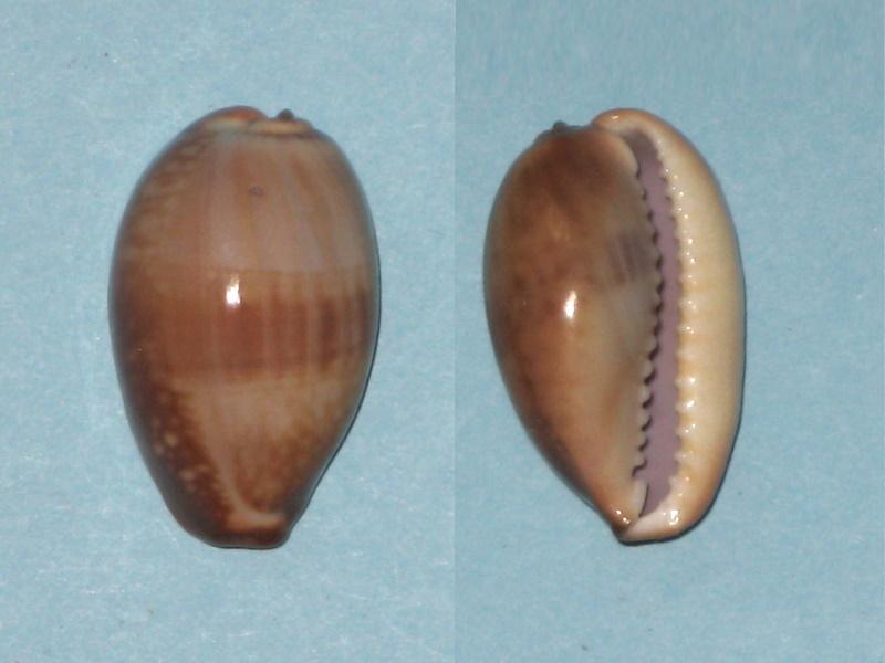 Monetaria caputserpentis (Linnaeus, 1758) juvénile Img_0240