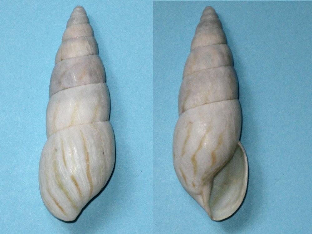 Limicolaria sp. Img_9820