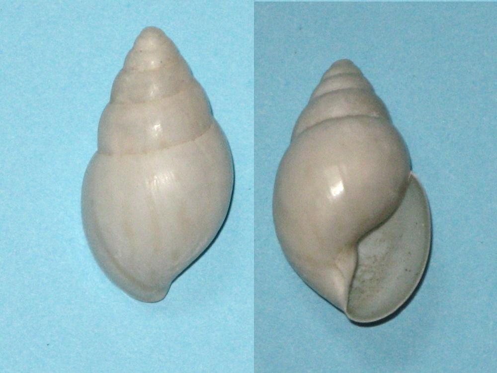 Limicolaria sp. Img_9822