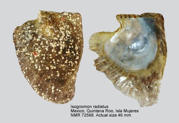 Isognomon radiatus - (Anton, 1838) Isogno10