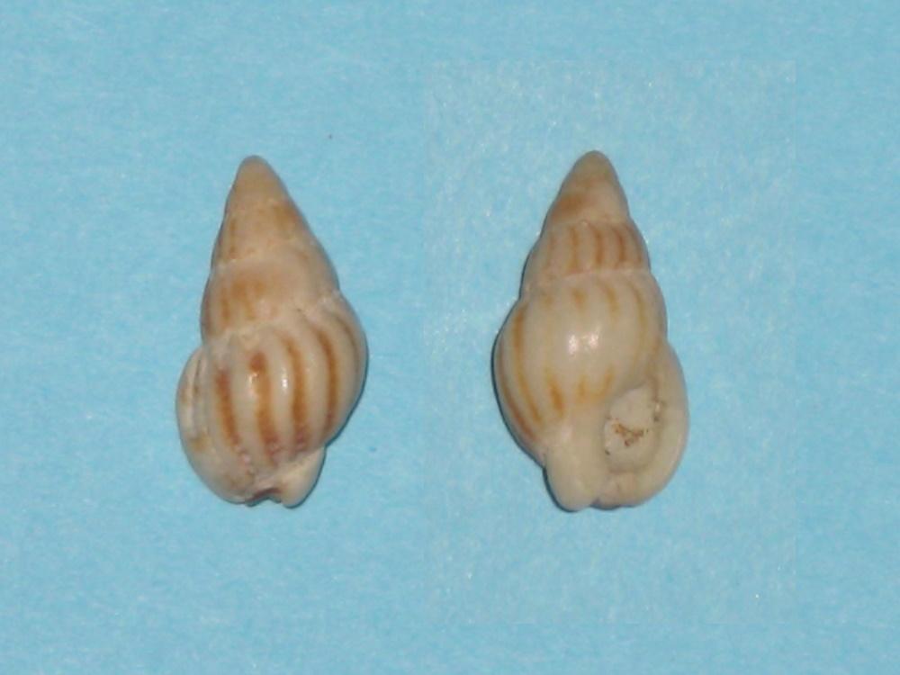 Nassarius incrassatus - (Strøm, 1768) voir Tritia incrassata - (Strøm, 1768)  Nassar10