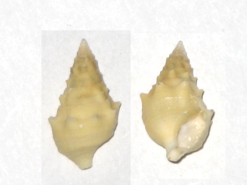 Cerithium repandum f. citrina Monterosato, 1880 Ni_b10