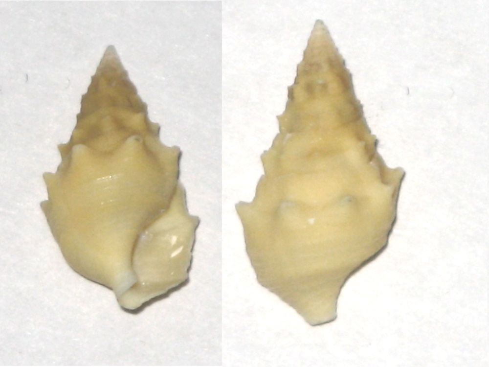 Cerithium repandum f. citrina Monterosato, 1880 Ni_b11