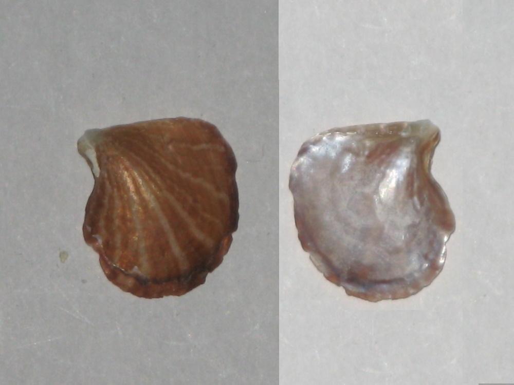 Isognomon radiatus - (Anton, 1838) Ostrea10