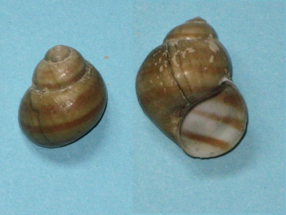 Viviparidae Pomati10