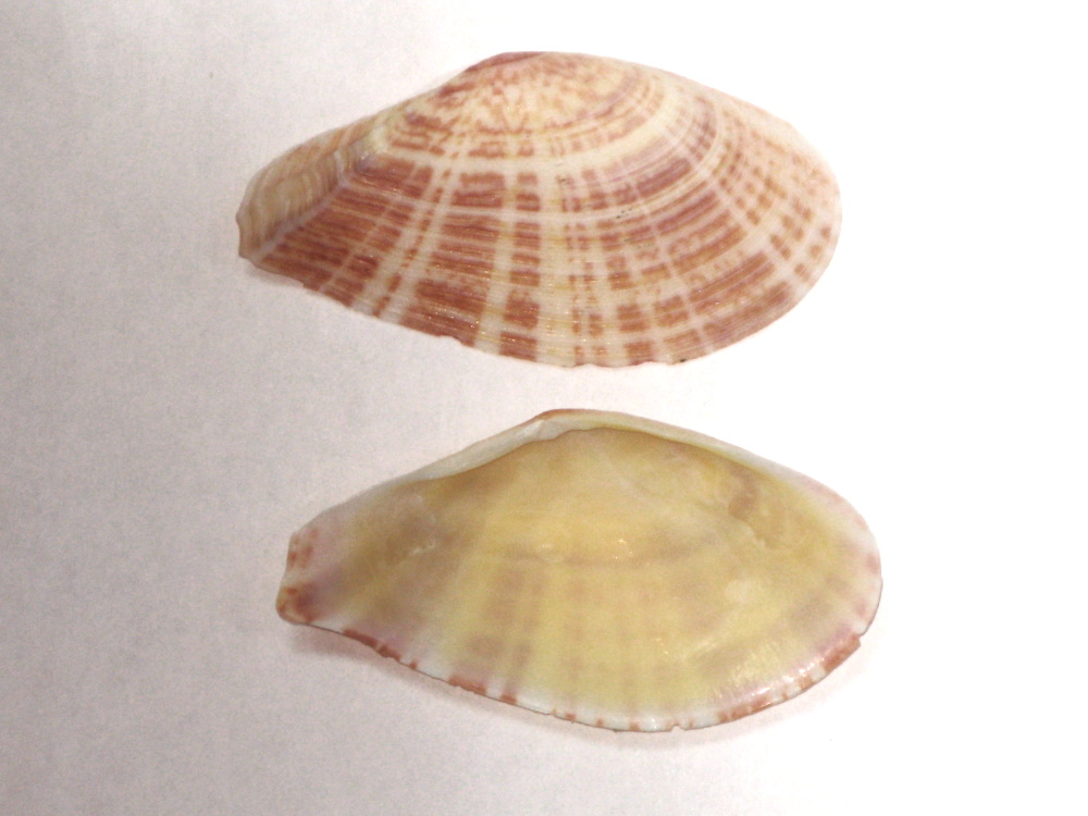 Tellinella cruciata - (Spengler, 1798) Tellin14
