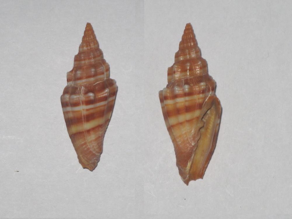 Costellariidae - Vexillum plicarium - (Linnaeus, 1758)  Vexill11