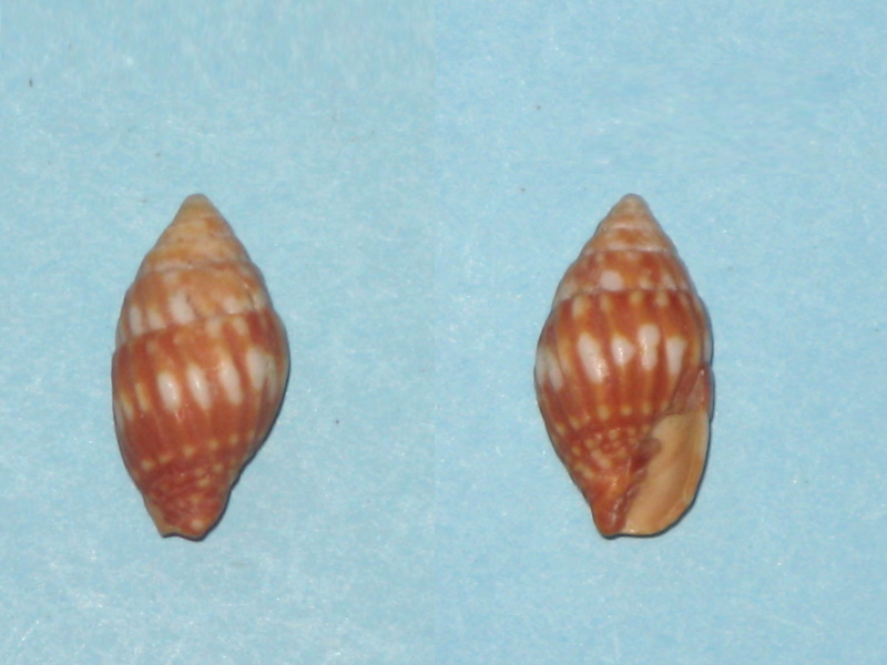 Vexillum pardale - (Küster, 1840) Vexill12
