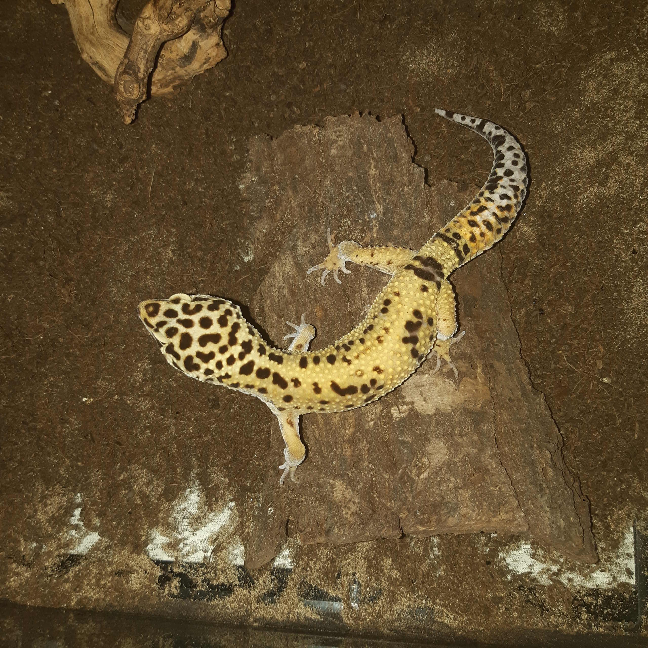 Mon gecko léopard ne mange plus 15921610