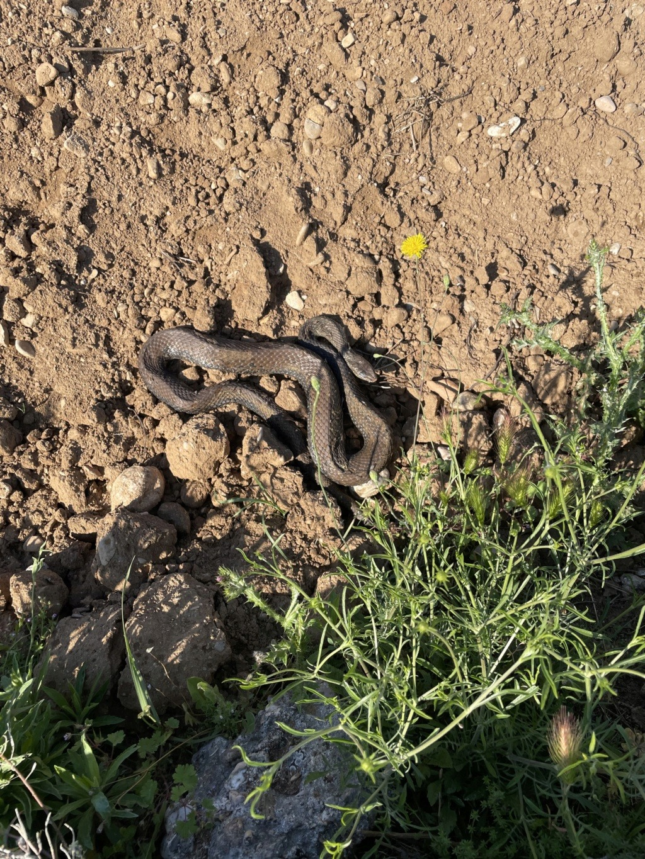 Voici la photo d'un serpent vu ce jour dans la campagne héraultaise Serpen10