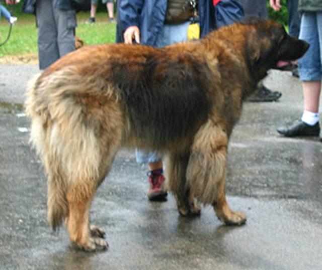 Exposition régionale d'élevage - Bannac 2008 Roussi10