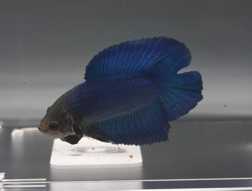 male QD bleu turquoise Bqd010