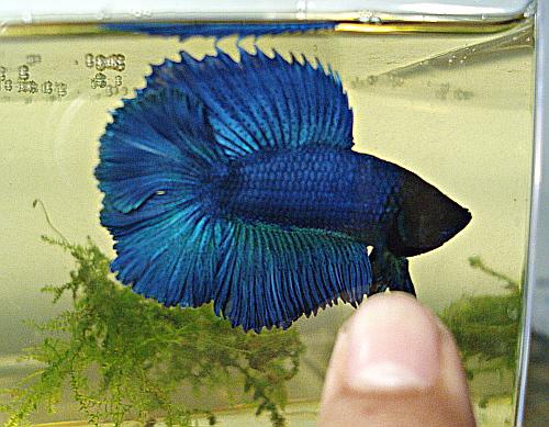 male QD bleu turquoise Bqd10