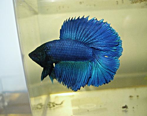 male QD bleu turquoise Bqd110