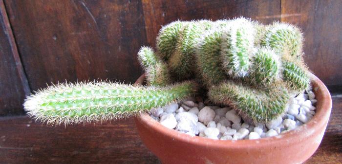 Cleistocactus samaipatanus cristata Img_4320