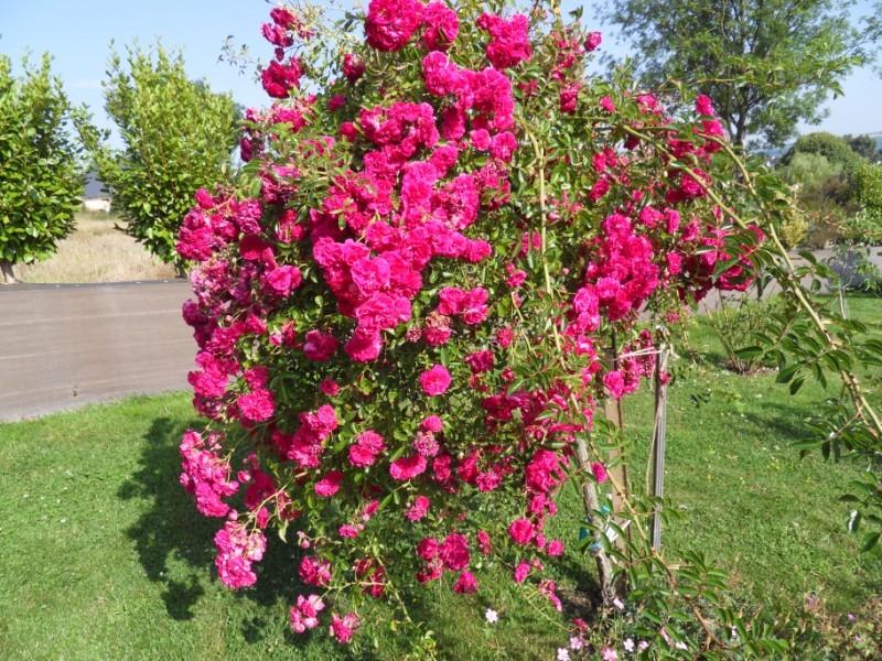 Floraisons du mois de juillet Sdc17712