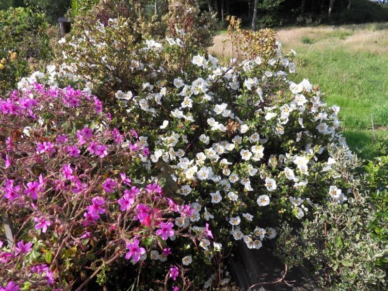 Floraisons du mois de juillet Sdc17713