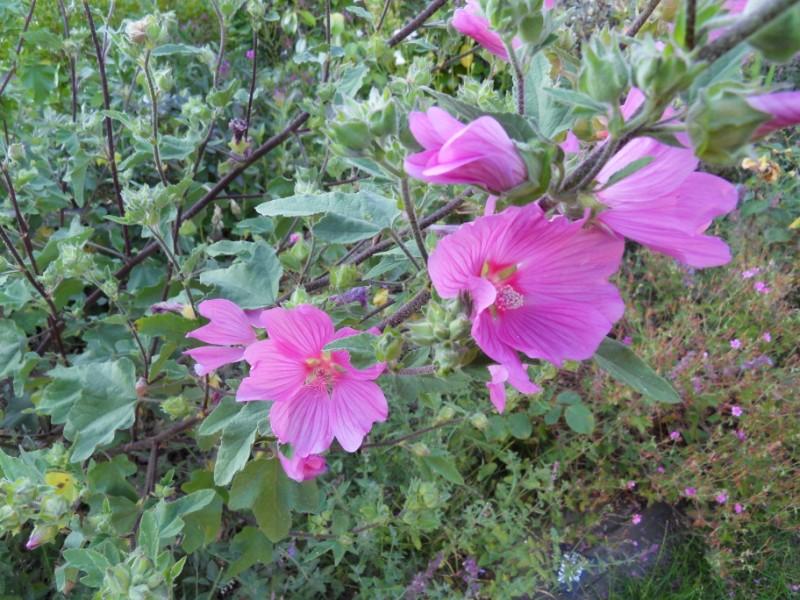 Floraisons du mois de juillet Sdc17714
