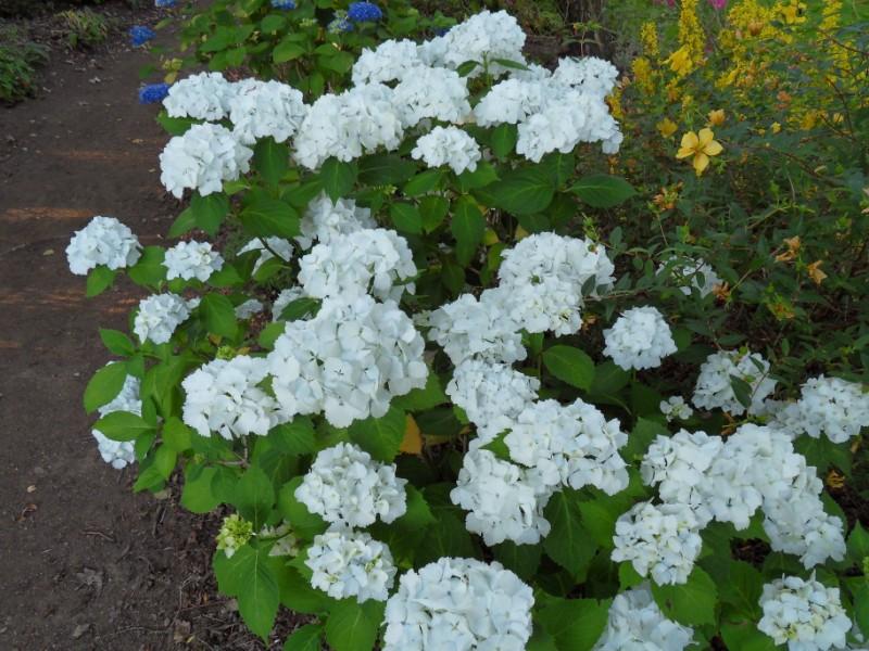 Floraisons du mois de juillet Sdc17715