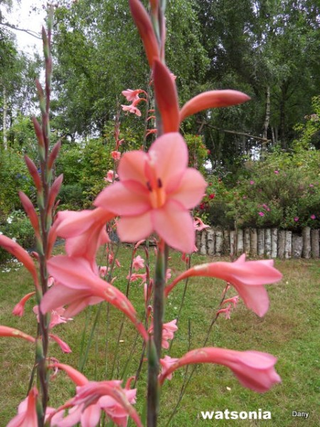 les watsonias  ,  plante d'Afrique du sud..... Sdc17925