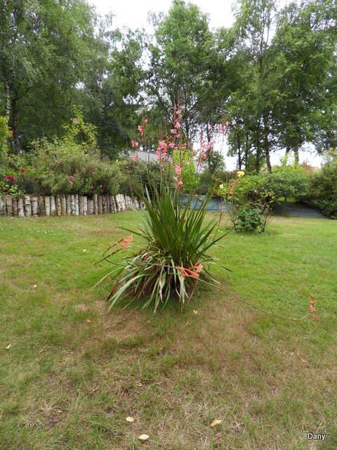 les watsonias  ,  plante d'Afrique du sud..... Sdc17928