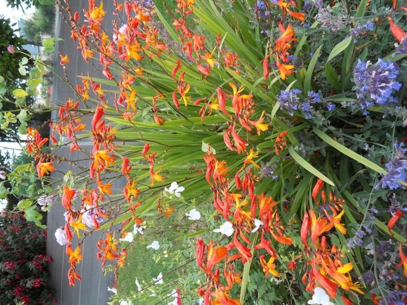 Floraisons du mois d'Août Sdc18226