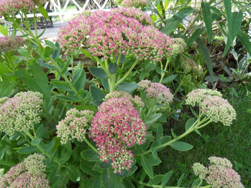 Floraisons du mois de septembre Sdc18424