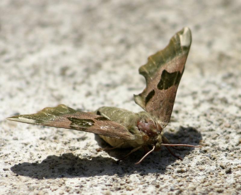 papillons à déterminer Papill10