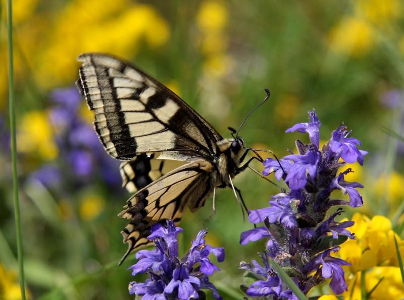 papillons à déterminer Photo_30