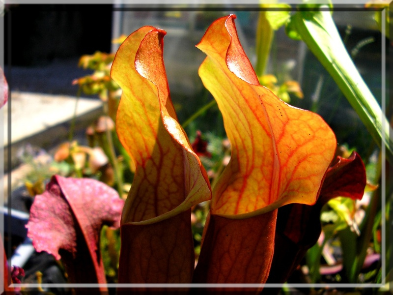 [description] HNI09 Sarracenia hybride 2_pieg10