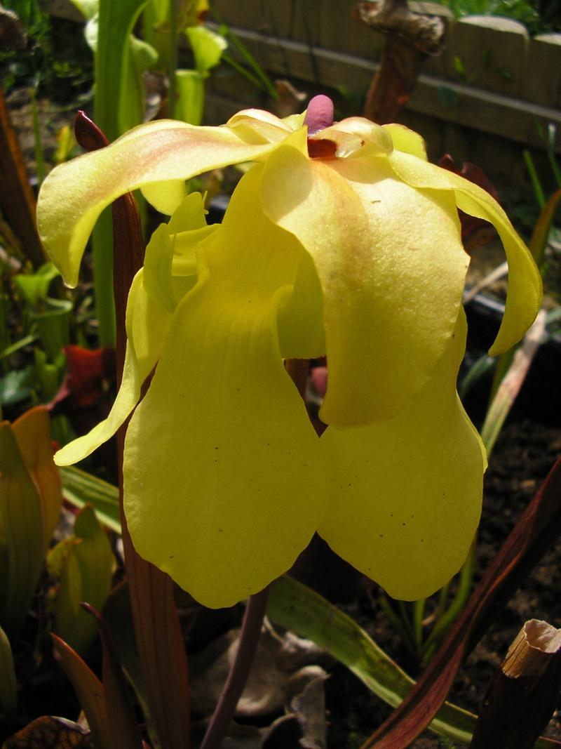 [description] HNI09 Sarracenia hybride Fleur_36