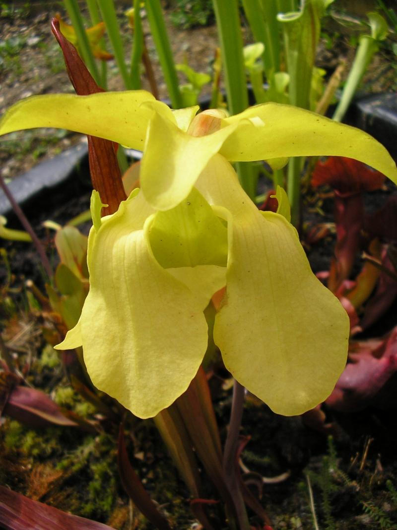 [description] HNI09 Sarracenia hybride Fleur_37