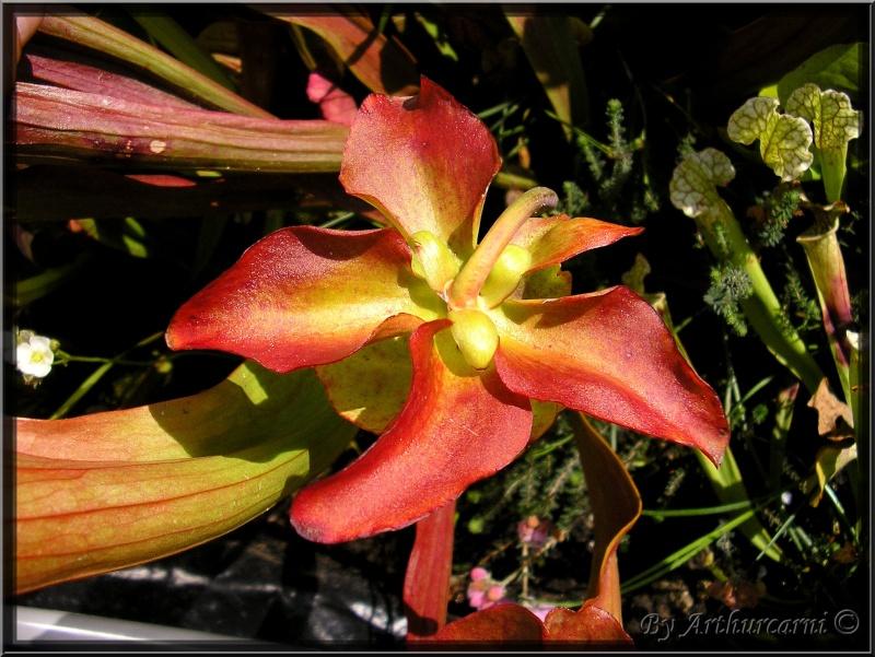 [description] HNI09 Sarracenia hybride Fleur_38