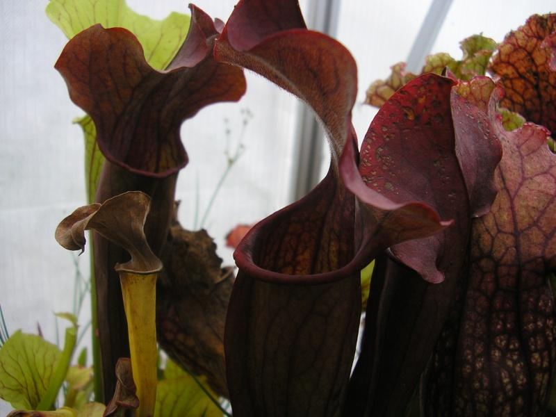 [description] HNI09 Sarracenia hybride Sarrac25