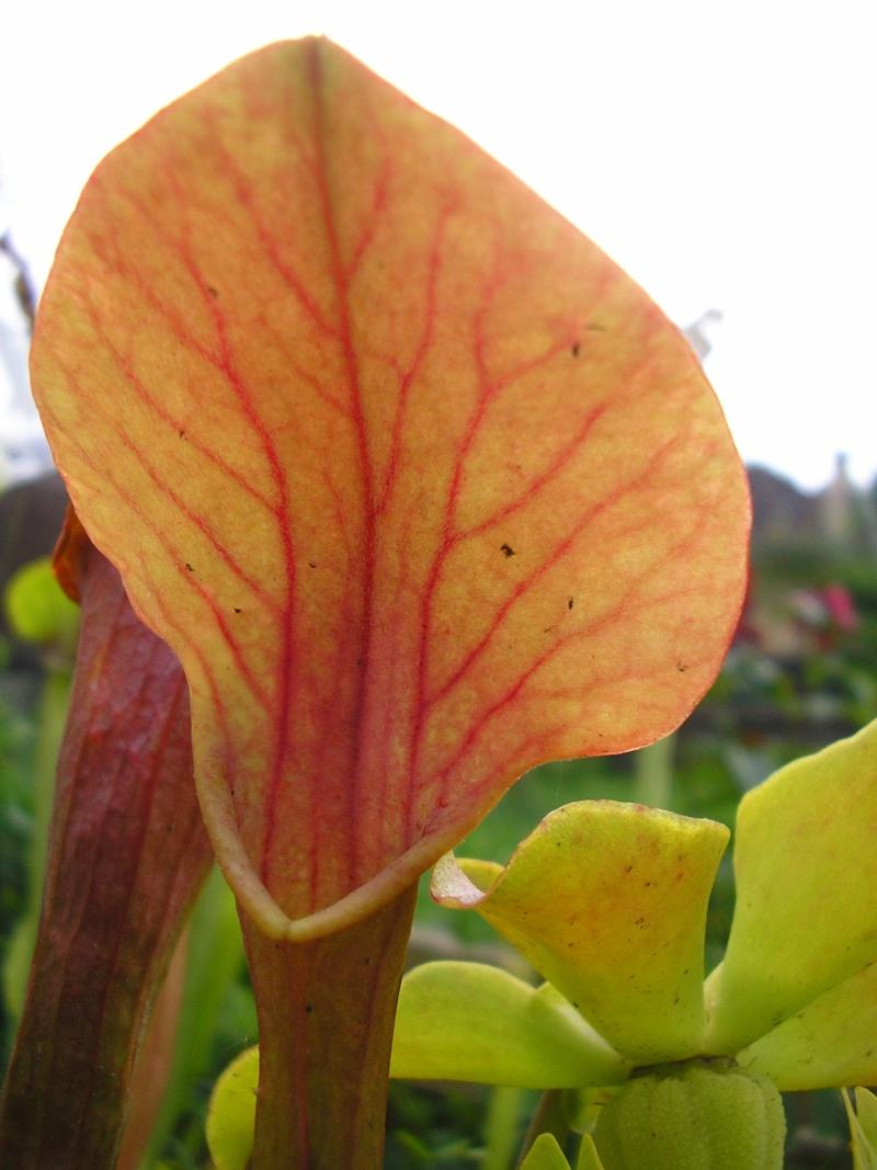 [description] HNI09 Sarracenia hybride Sarrac27