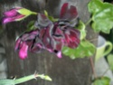 Pelargonium peltatum couleur aubergine très sombre P-inco10