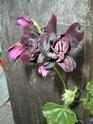 Pelargonium peltatum couleur aubergine très sombre P-inco12