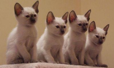L'énigme des chats ! 4siamo10