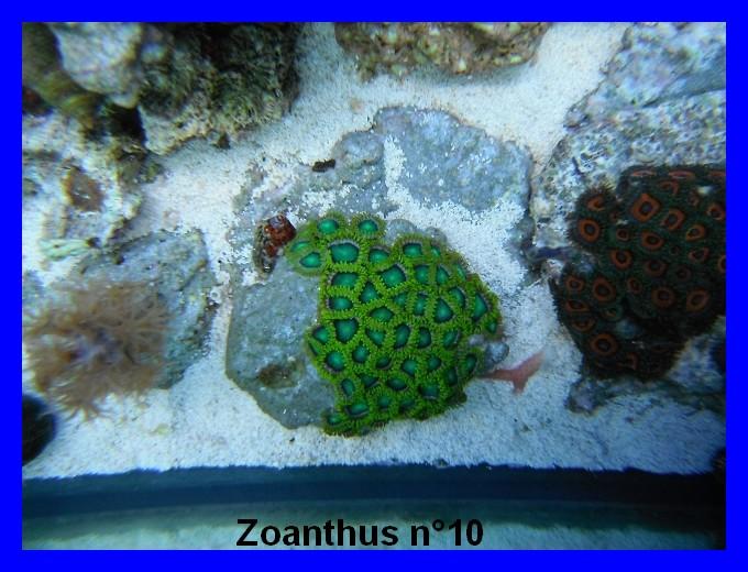 Mes Zoanthus 1012
