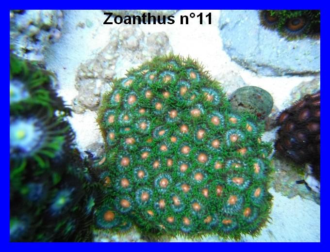 Mes Zoanthus 1112