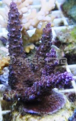 Arrivage coraux reeflab 113