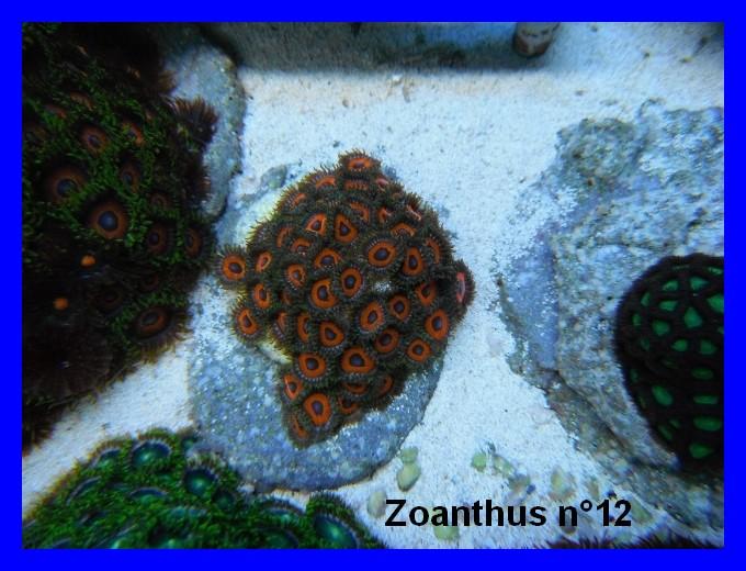 Mes Zoanthus 1213