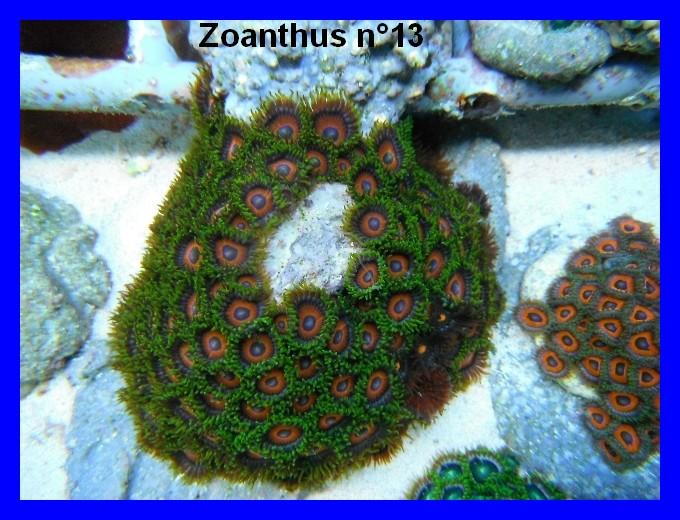 Mes Zoanthus 1314