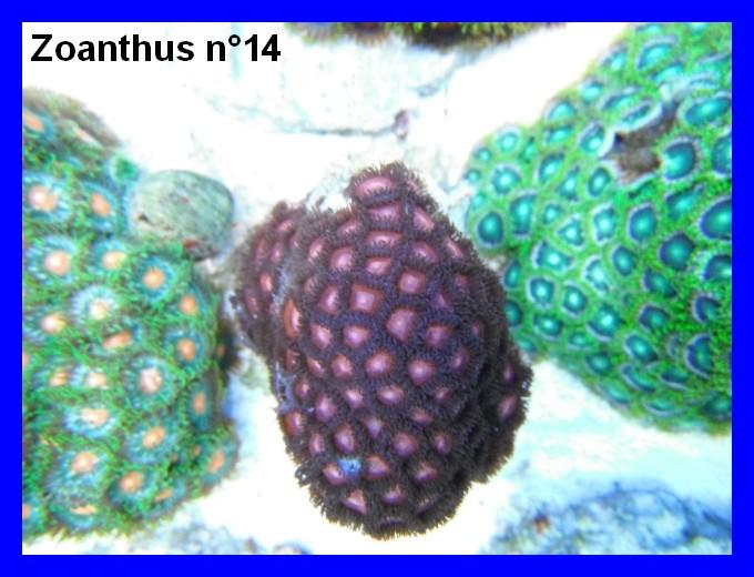 Mes Zoanthus 1412