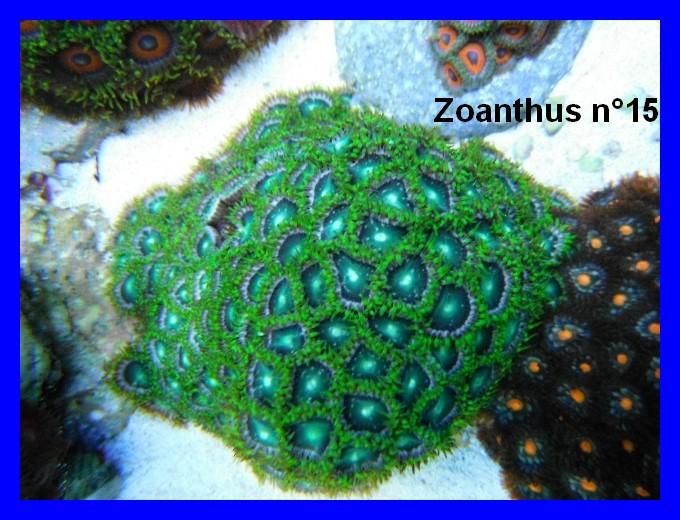 Mes Zoanthus 1512