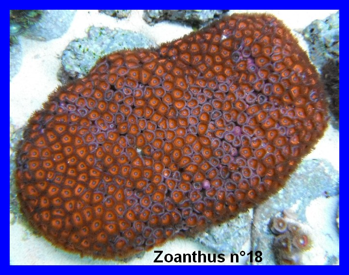 Mes Zoanthus 1813