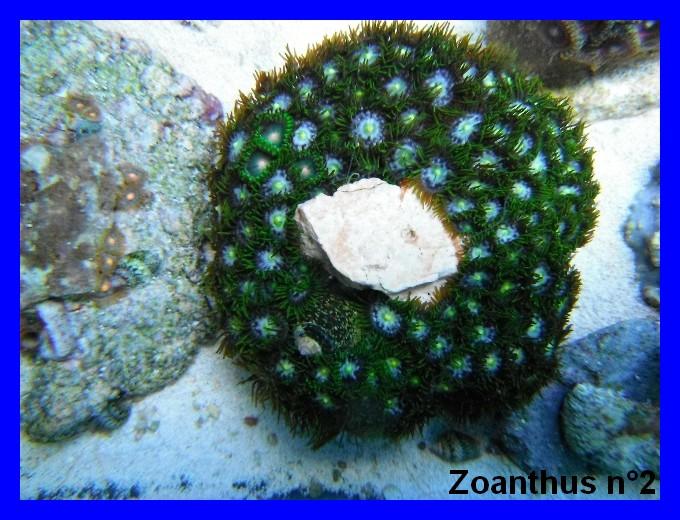 Mes Zoanthus 211